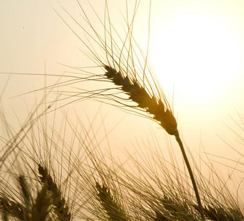 Zeit für Ernte, reife Ähren im Sonnenlicht